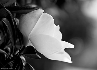Magnolia #21 - HBW! | by raisinsawdust - (aka: tennphoto)