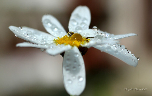 Daisy & Drops | by linlaw39
