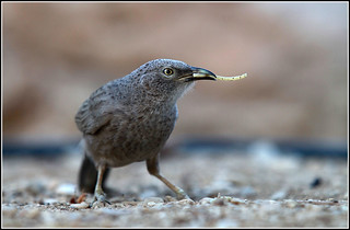 Arabian Babbler | by Avneyon
