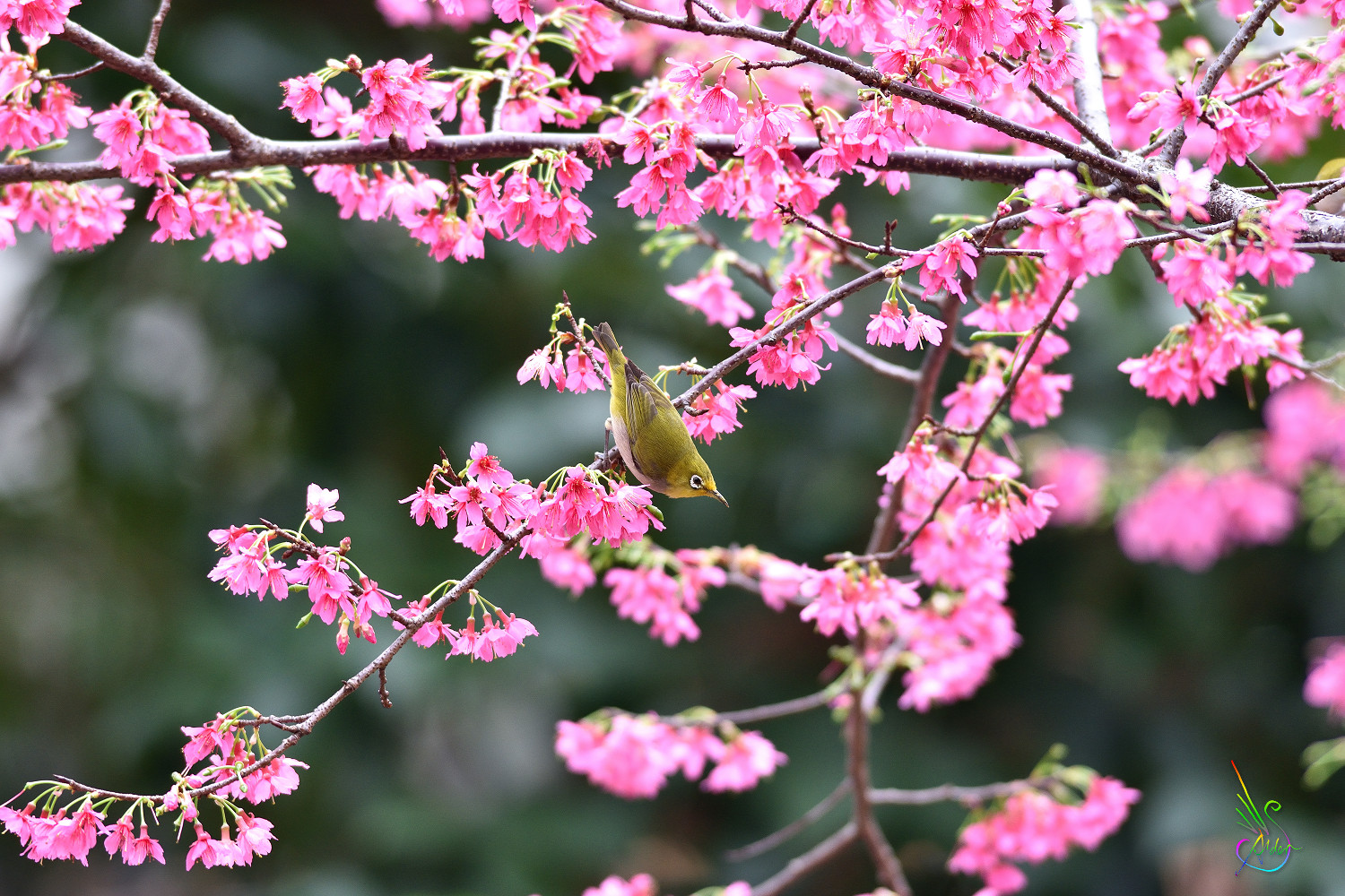 Sakura_White-eye_5200