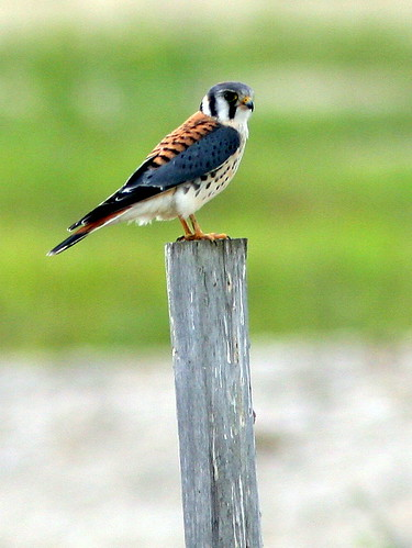 American Kestrel 20090821 | by Kenneth Cole Schneider