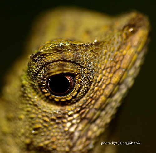 portraiture of nature II ( Oriental Garden Lizard  ) | by SuzailanJai