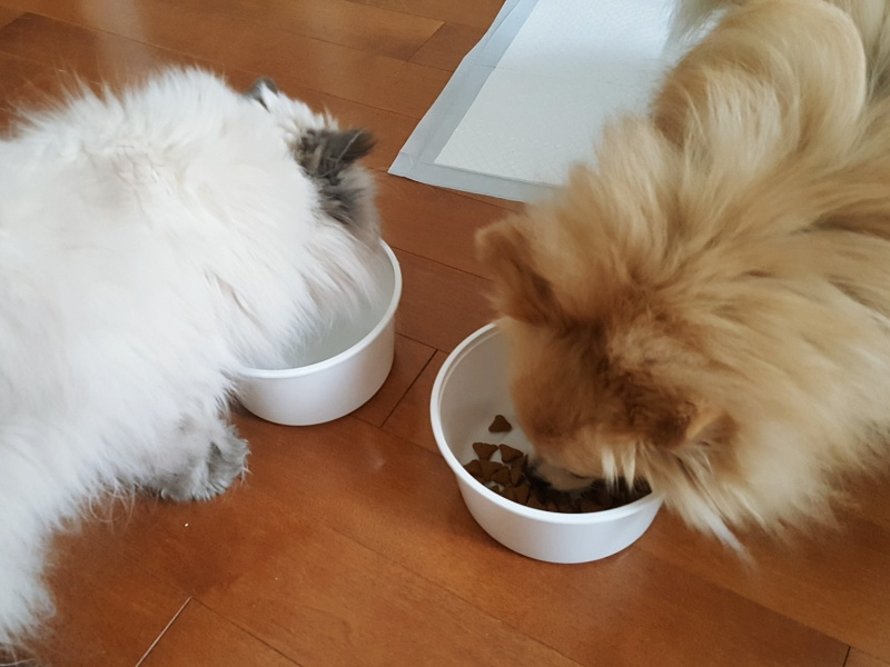 himalayan and pomeranian