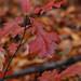 Quercus stellata- Post Oak