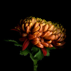 THE CHRYSANTHEMUM and ALL the COLOURS of AUTUMN | by magda indigo