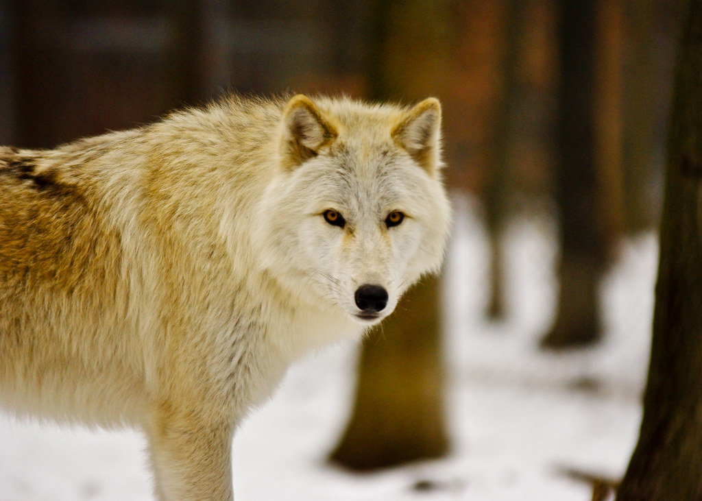 Image Result For A Wolf In