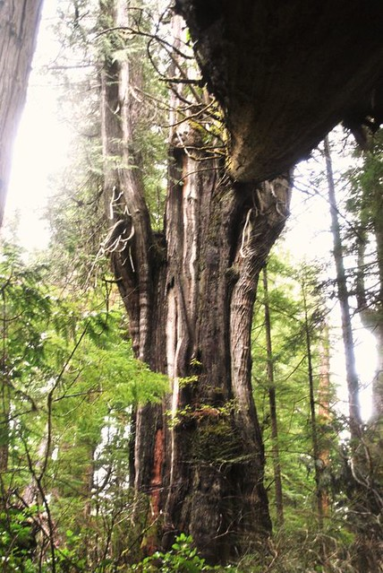 Giant Cedar Trees Queen Charlottes Islands Bc