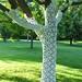 A very pretty Locust tree...