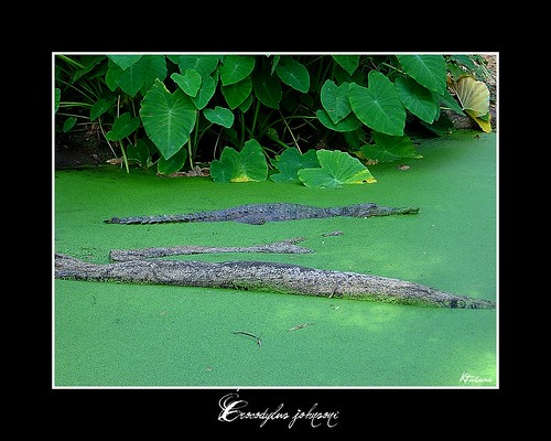 Crocodylus johnsoni | by Kitahara, M. V.