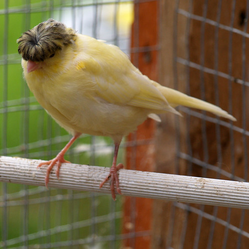 Yellow Gloster Canary ...