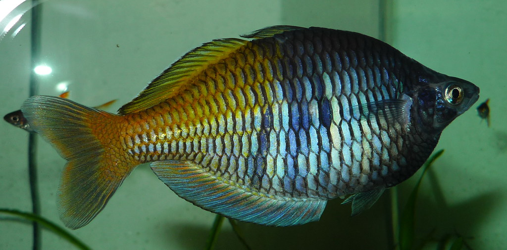 Boesemani Male Boesemani Rainbow Fish About Two Years