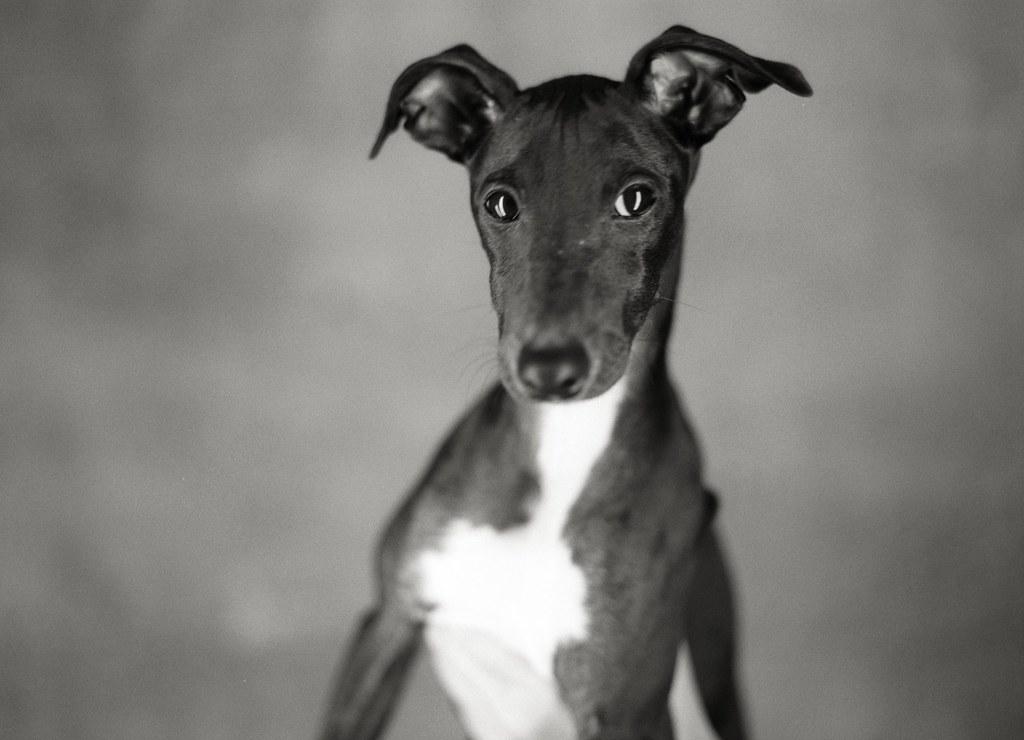 italian_greyhound_celebrity   Dexter, the Greyhound ...