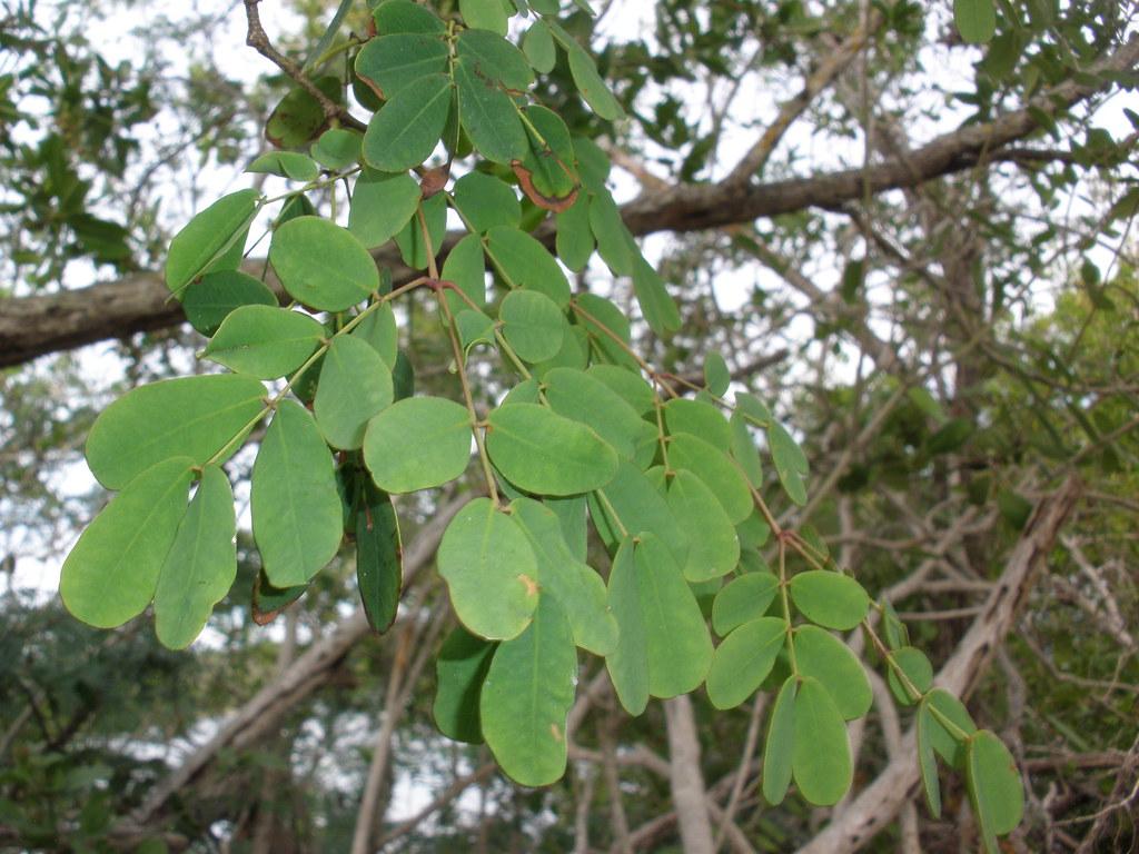 ebony tree leaves kyle wicomb flickr