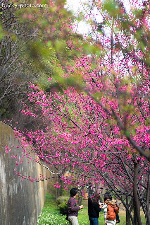 2015.Feb sakura @Taoyuan 壽山巖觀音寺