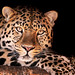 Magnificent leopard