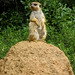 20091024-meercat on the lookout0284