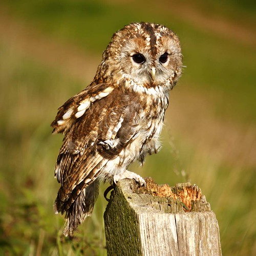Tawny Owl On Fence Post | by StProc.
