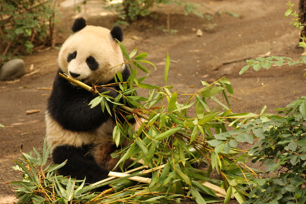 Panda eating bamboo littlebluehen p stacy