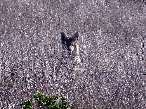 coyote | by Uncle Kick-Kick