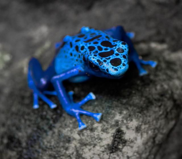 Poison Dart Frog dot to dot Free Printable]