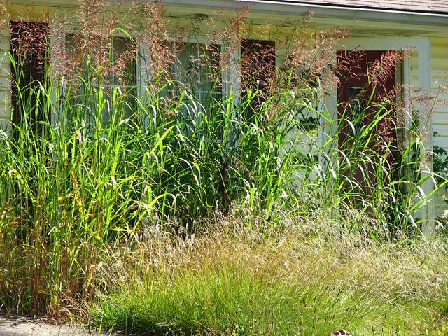 Thriving Johnson Grass Johnson Grass Thrives Along The