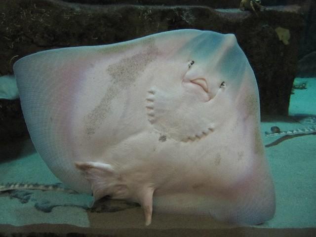 Exploris : Exploris Aquarium, Portaferry Underside of a baby ray Flickr