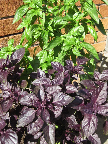 Green and Purple Basil in container | by MakeBreadAU