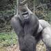 gorilla front