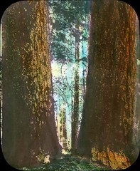 Big fir in an Oregon forest