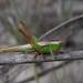 Meadow katydid (Conocephalus sp), Gran Sabana, Venezuela