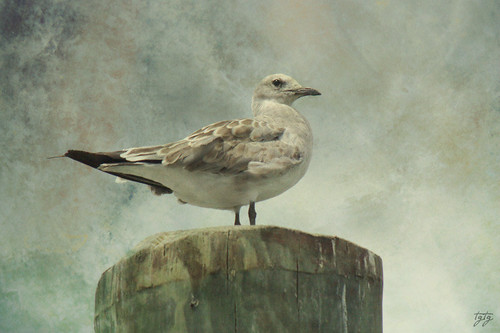 She is a beautiful gull...... | by astanse♥(Angela Stansell)