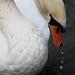 A swan in the Lake Geneva