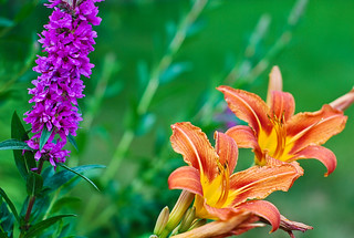 loosestrife and lilies, 209/365 | by Sophie_vf