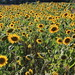 Ganz viele Sonnenblumen.