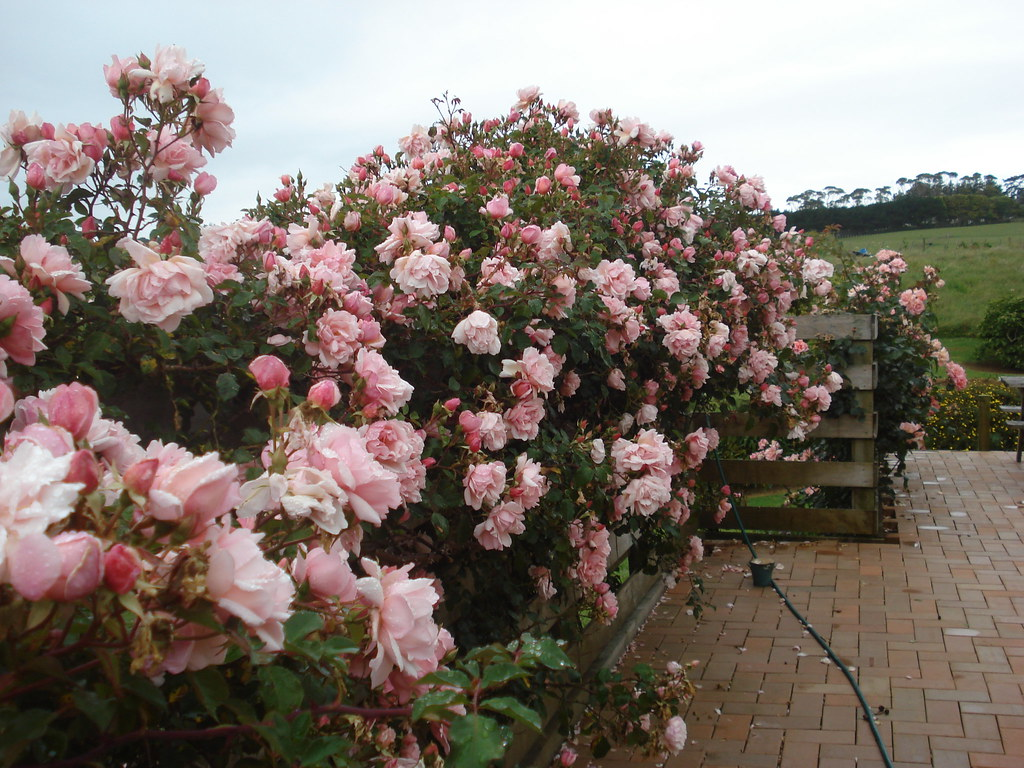 compassion climbing rose along fence of side patio flickr. Black Bedroom Furniture Sets. Home Design Ideas