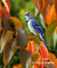 Autumn Bluejay | by ROCKADEE_Two With Eagles 1951 / Rockey & Dee