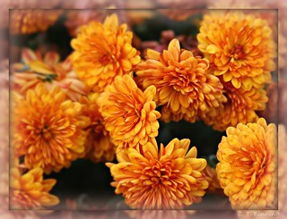 Autumn Mums - Thanksgiving Reflection | by christopher.binning