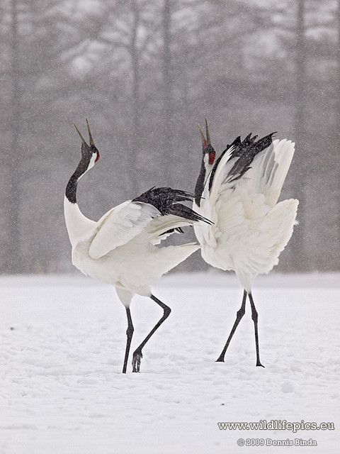 Japanese Crane Grus Japonensis Dancing Cranes From