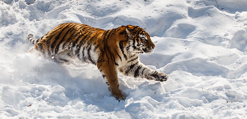 MN zoo tiger | by Molly Goossens