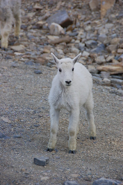 Recent Photos The Commons Galleries World Map App Garden Camera Finder    Baby Mountain Goat
