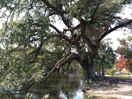live oak tree at the new orleans city park fhl