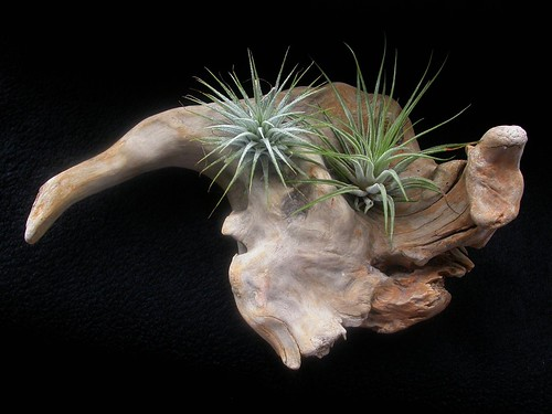Driftwood with air plants | by Edinburgh Nette ...