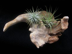 Driftwood with air plants | by Edinburgh Nette