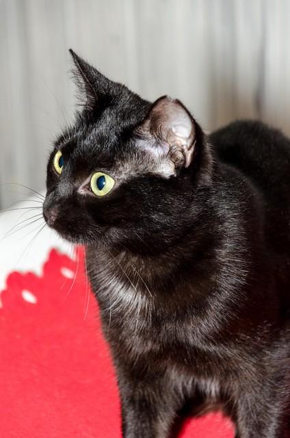 Morgana, gatita negra monísima, juguetona y tímida esterilizada, nacida en Julio´16, en adopción. Valencia. ADOPTADA. 32717409301_6358660d66_z