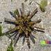 Thorny sea urchin (Prionocidaris sp.)
