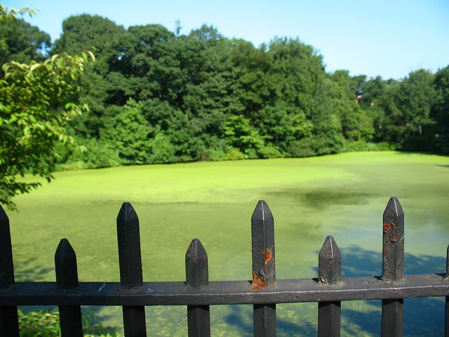 Duckweed pond at the new york botanical garden twin for Garden pool duckweed