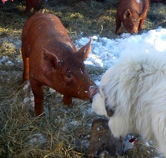 Maggie meets the pigs | by Lisa Gay Richards