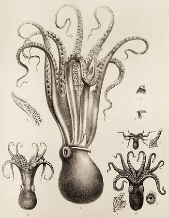 1000  images about Squid art on Pinterest | Octopus, Kraken and ...