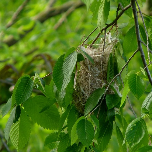 The Baltimore Oriole nest in progress | by Dendroica cerulea