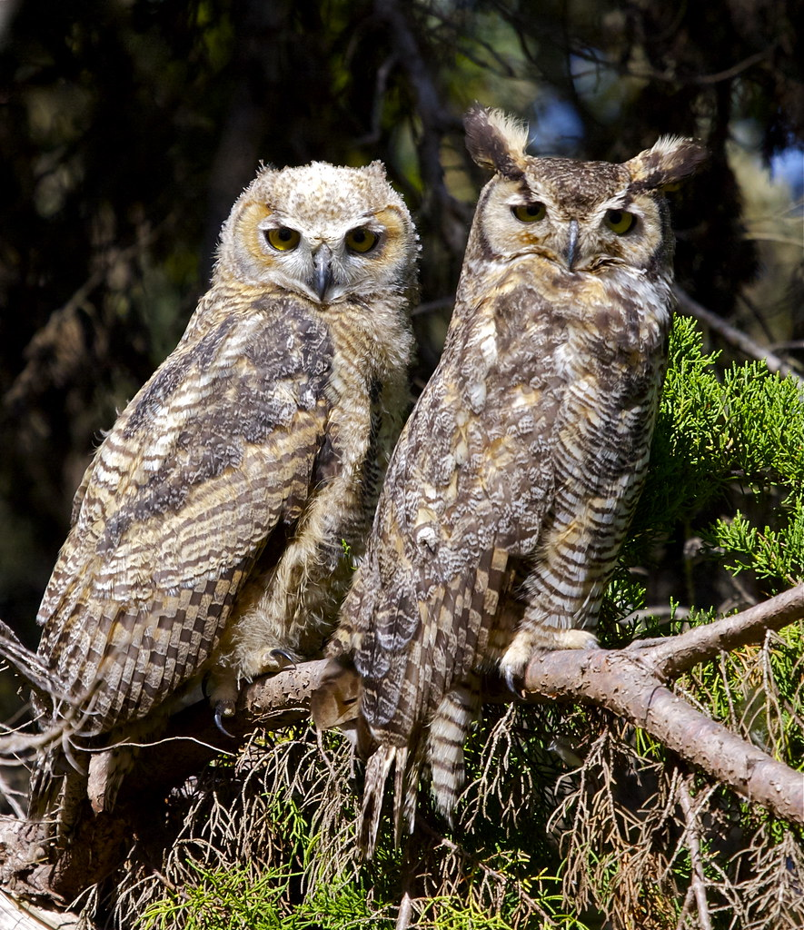 Owls Food And Diet